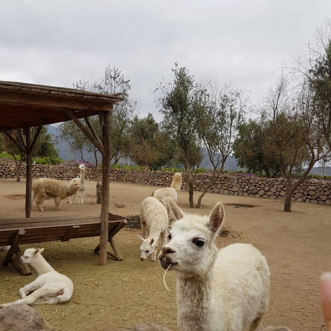 Animais na vinícola Emiliana